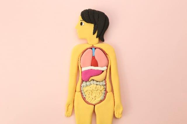人体模型イラスト