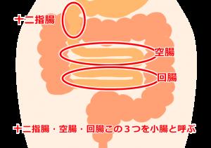 十二指腸・空腸・回腸の図解